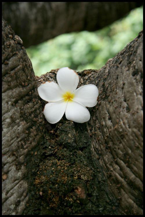 31 - fleur de temple-2